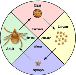 life cycle of the australian paralysis tick
